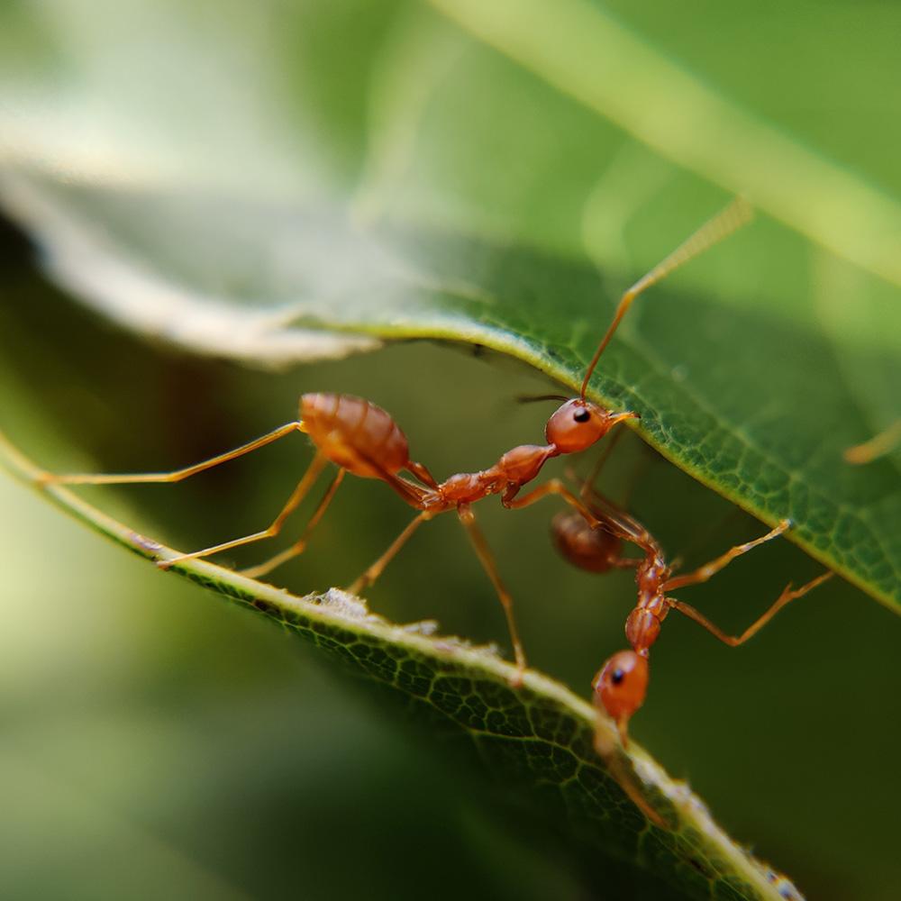 Ants Building Bridges