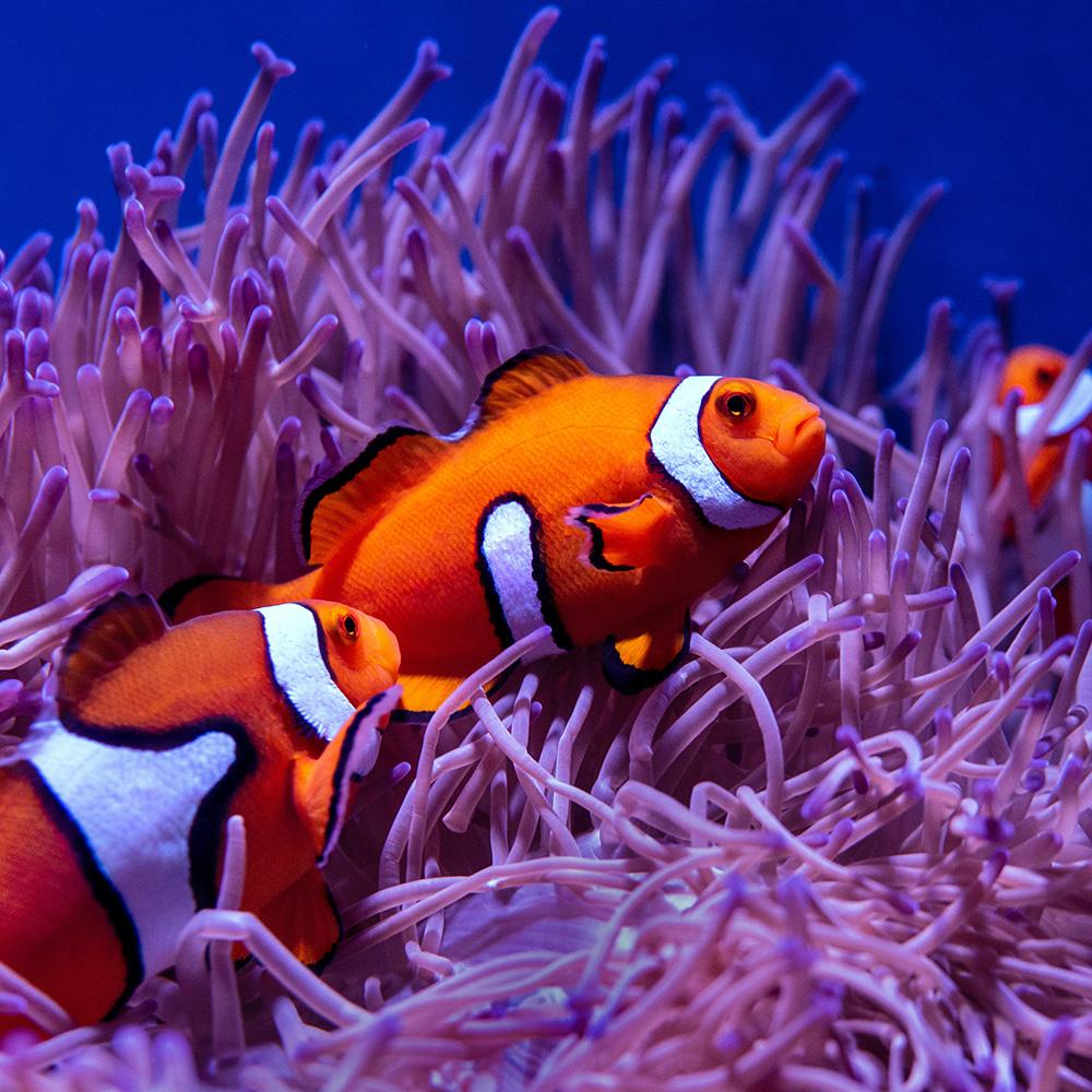 Fish anemones